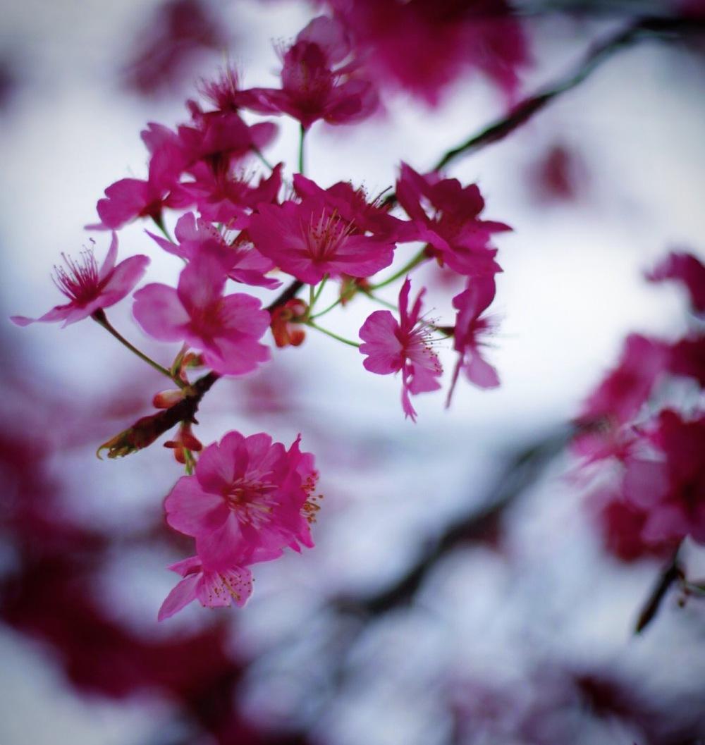 sakura cherry blossom hanami tokyo japan