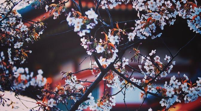 Vegan in Tokyo: Im Rausch Kirschblüte!
